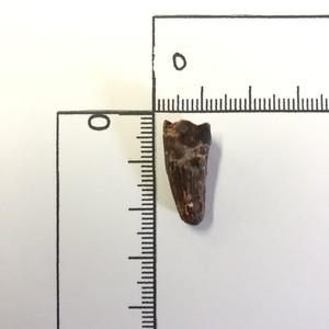 No.11261 アベリサウルスの歯化石