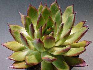 Echeveria 'Rubura' エケベリア ルブラ