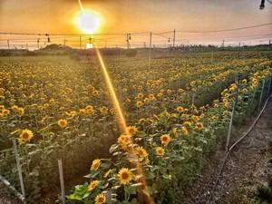 ひまわり畑×キクミネーション 収穫体験