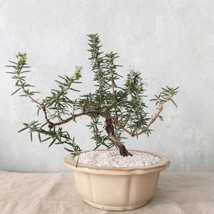 ローズマリー盆栽 サンタバーバラ (PS81)