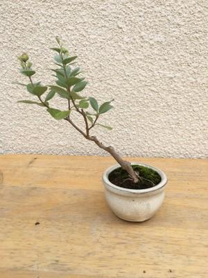ミニ盆栽 ハマゴウ