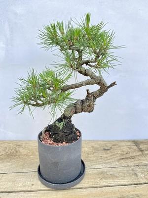 【送料無料】赤松 盆栽 一点物 陶器鉢 趣味 コレクション ルル盆