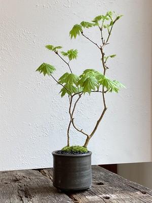 盆栽 イタヤメイゲツ(十二単)(02)