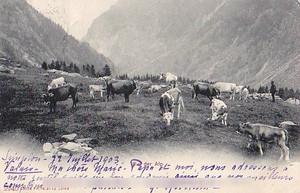 古絵葉書エンタイア「放牧」(1903年)