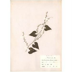日本の古い植物標本 004