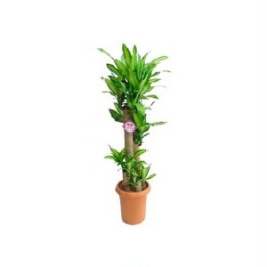 ドラセナマッサンゲアナ(幸福の木) 8号鉢