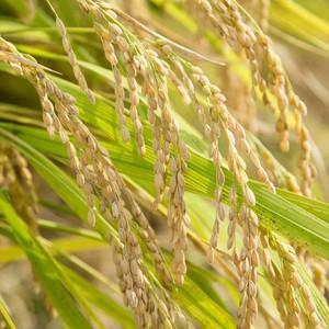 玄米9kg・三色米500g×2 セット