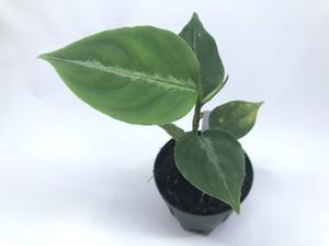 Aglaonema pictum North Sumatra【R0817-01E】⑵