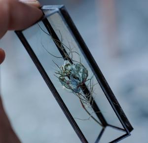 植物標本:ドライフラワー『ニゲラ』