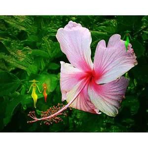 沖縄に咲く花・13・ハイビスカス