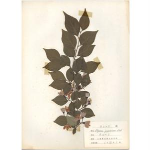 日本の古い植物標本 014