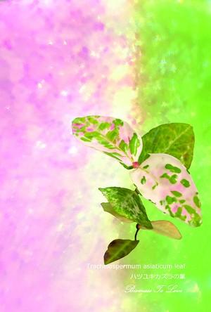 いきもの顕微鏡ポストカード ハツユキカズラの葉