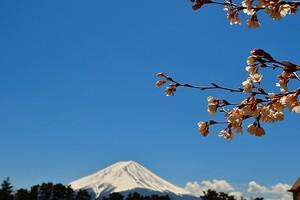 富士山と桜 07