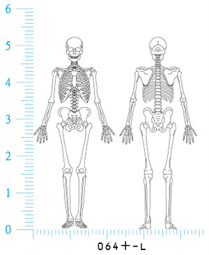 骨格全身図 前後対 Mサイズ