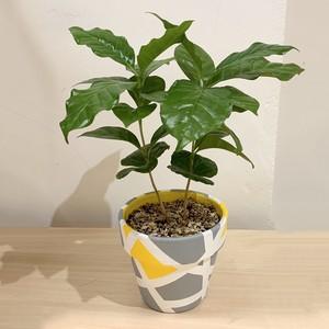 マップポットグリーン コーヒーツリー 3号鉢