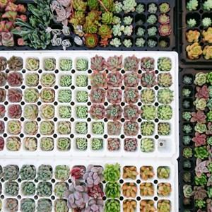 多肉植物カット苗6芽セット