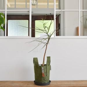 ブラキキトン ボトルツリー(ルーツポーチ1ガロン植え)【取り置き専用】