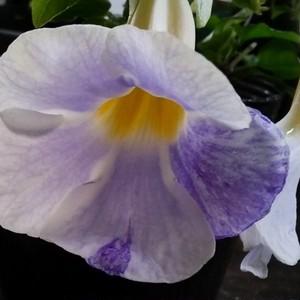ツンベルギア絞り咲き10.5cmポット苗