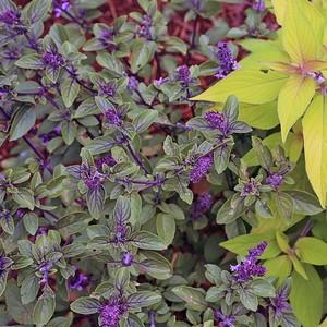 アフリカンブルー バジル Ocimum basillcum 'African Blue'