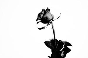 Rose Noir  #15