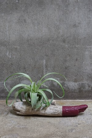 DRIFTWOOD TILLANDSIA -M- Color