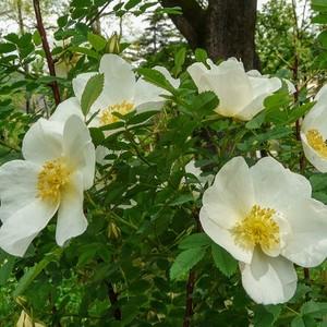 ロサ スピノシシマ アルタイカ Rosa spinosissima altaica