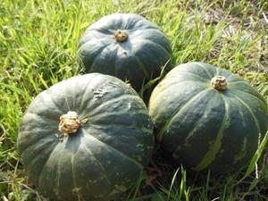 かぼちゃ ほっとけ栗たん 10kg ホクホクかぼちゃです