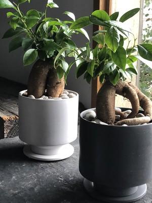 ガジュマル(鉢植え)Sサイズ