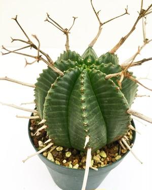 ユーフォルビア スーパーバリダ Euphorbia valida 20180215