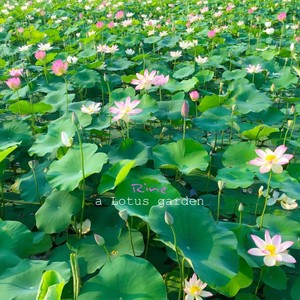 CD Album「a Lotus garden」