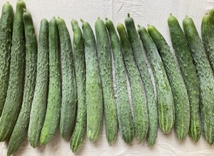 自然栽培 四葉胡瓜1.5kg