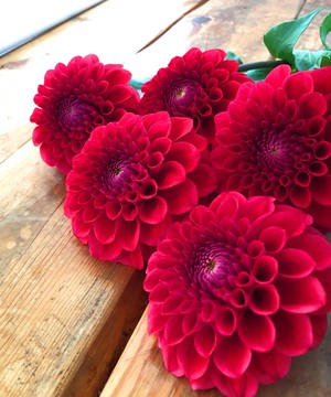 ダリアボール咲きの赤色 『朝日てまり』 10本 のご紹介