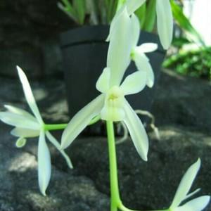 白花ヘツカラン・カンポウラン10.5cmポット苗