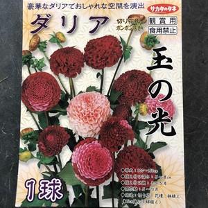 【球根】ダリア 玉の光 1球入 サカタのタネ