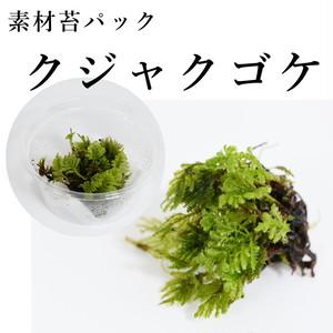 クジャクゴケ 苔テラリウム作製用素材苔
