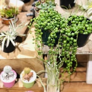 【定期便】初めての多肉植物