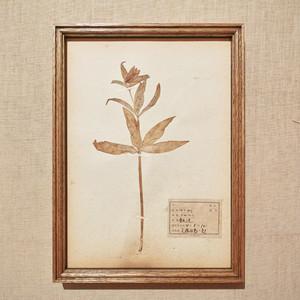 植物標本 フレーム 1929 vintage 18MAR-VSH17