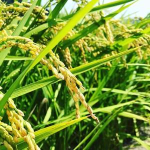 【定期購入/1ヶ月毎】大自然米【玄米】5kg x 6回(半年)5%お得!