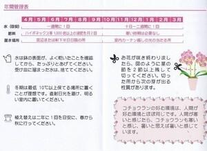 ミディ胡蝶蘭4号 クローム鉢 M2F(椎名洋ラン園 産直)