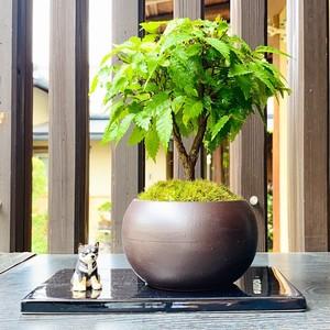 【盆栽キット】 ご自宅で作る!ケヤキの盆栽体験キット
