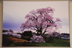 塩ノ崎の大桜 (個展展示品)
