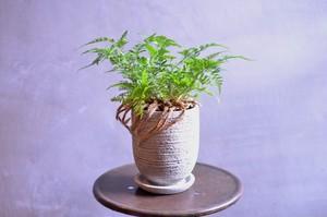 シノブ 鉢植え