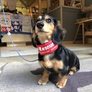 Dog+Rescue SSお散歩クーラー(バックルタイプ)