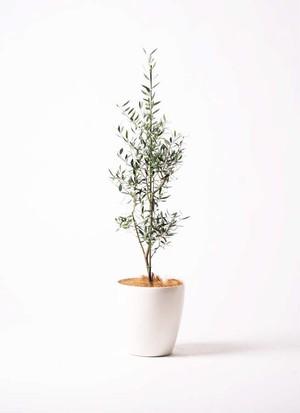 観葉植物 オリーブ 8号 コロネイキ ラスターポット 付き