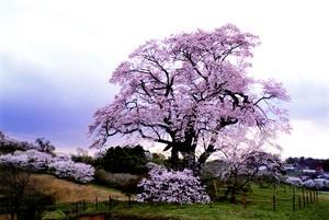 ポストカード 塩ノ崎の大桜 銀塩作品
