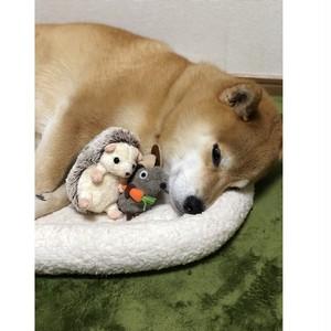 柴犬まる;ポストカード;ハリーさんときよし師匠とお寝んね