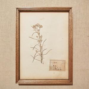 植物標本 フレーム 1929 vintage 18MAR-VSH08