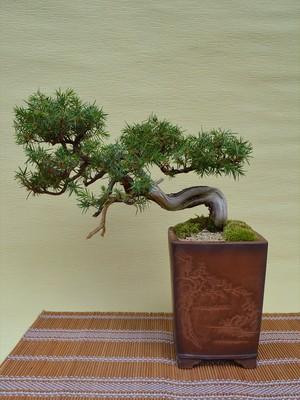 盆栽・杜松(b10005)