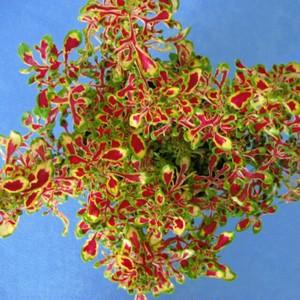コリウス トヨタマヒメ10.5cmポット苗