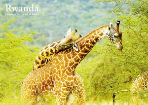 Giraffes of Akagera N.P. / Post Card